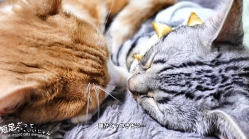 向かい合って寝る猫の顔