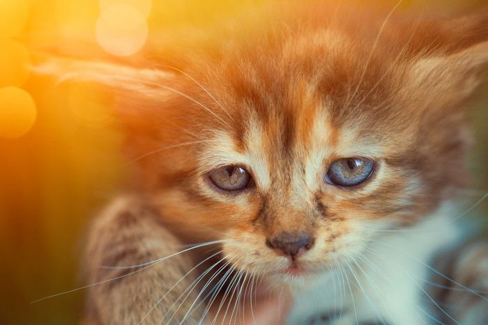垂れ目の猫