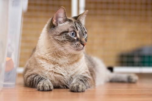 ブルーの瞳の猫の横顔