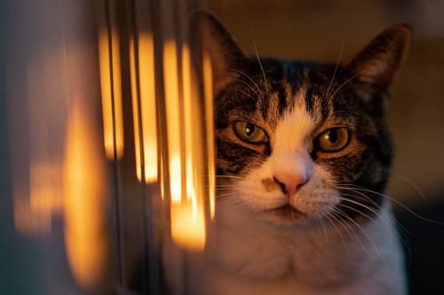幻覚を見る様子の猫