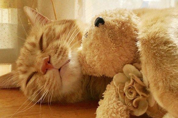 ぬいぐるみを抱えて寝ている雑種猫