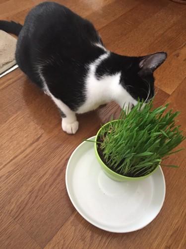 #猫草を食べる猫