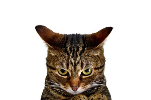 不機嫌そうな顔の猫