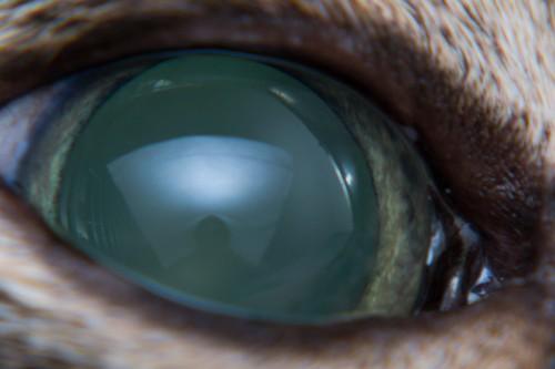 緑内障の猫の目