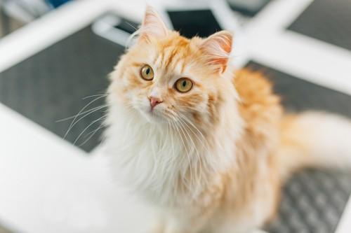 綺麗な毛並みの長毛種の猫
