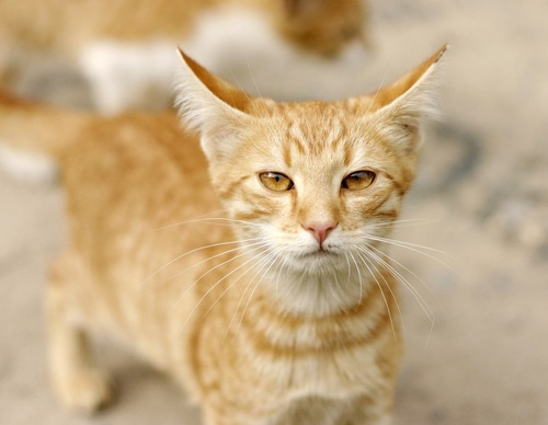 耳を後ろに伏せる茶トラ猫