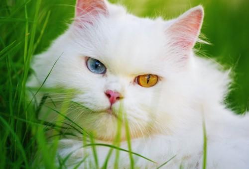 オッドアイのペルシャ猫の顔アップ