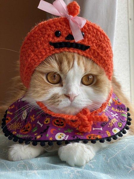 ハロウィンかぼちゃ仮装の猫