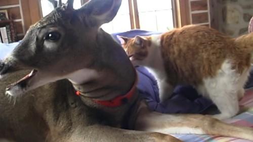 鹿のそばにいく猫