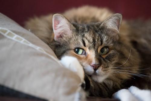 枕に手を置いて寛ぐ猫