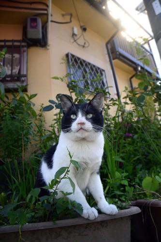 植木に入る野良猫