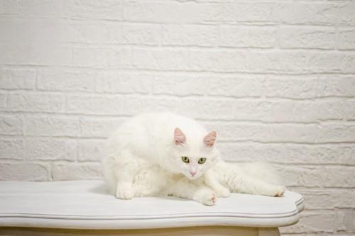 棚の上でくつろぐ白猫