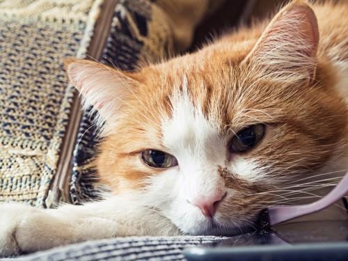 つまらなそうな顔の猫