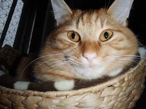 かごの中に入る猫