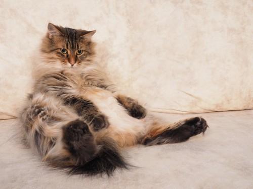 ベッドでお腹を出して座る猫