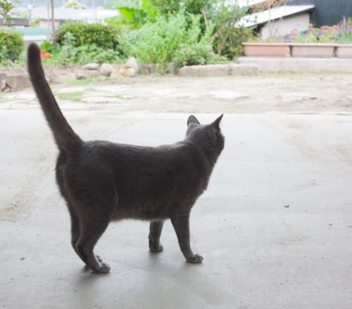 尻尾を立てて歩く猫