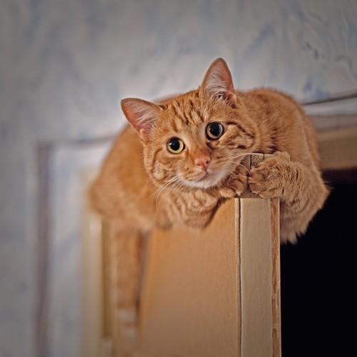 ドアの上に登ってくつろぐ猫