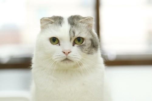 じっと見つめる耳の小さな猫