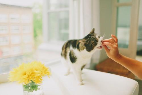 飼い主の手からおやつをもらう猫