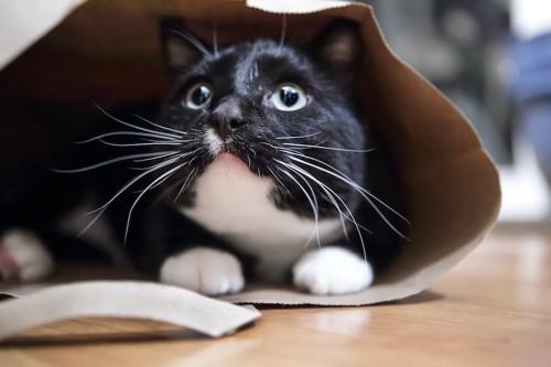 紙袋の中に入って上を見つめる猫