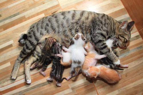 たくさんの子猫に授乳する母猫