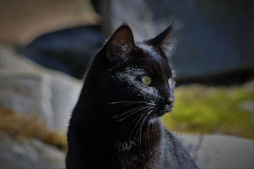 黒猫の横顔