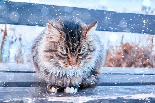 こごえそうな猫