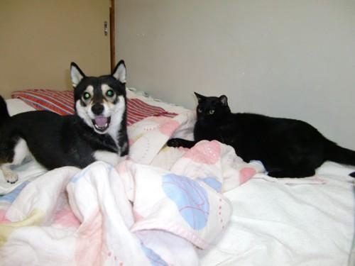 柴犬と黒猫