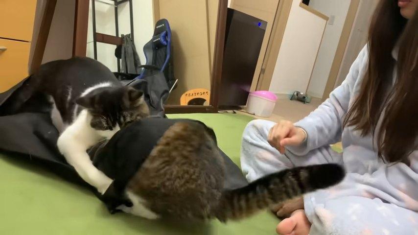 袋の上から飛びかかる猫