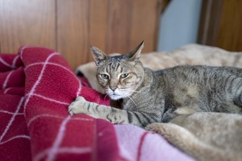 赤い毛布の上で寛ぐ猫