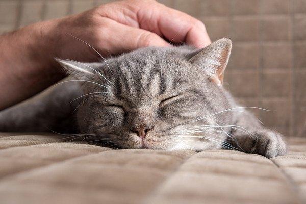 撫でられながらベッドで眠る猫