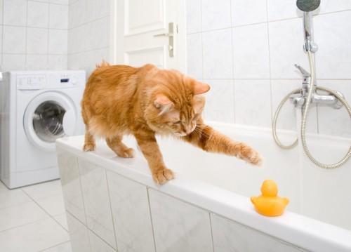 浴室でアヒルの玩具と遊ぶ茶トラ