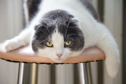 椅子の上で伏せている猫