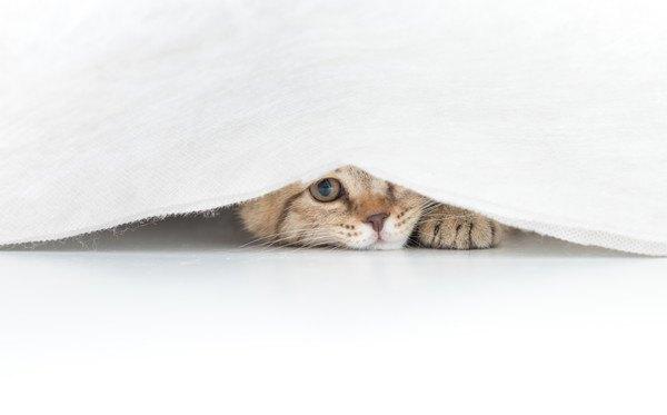 白い布に隠れる猫