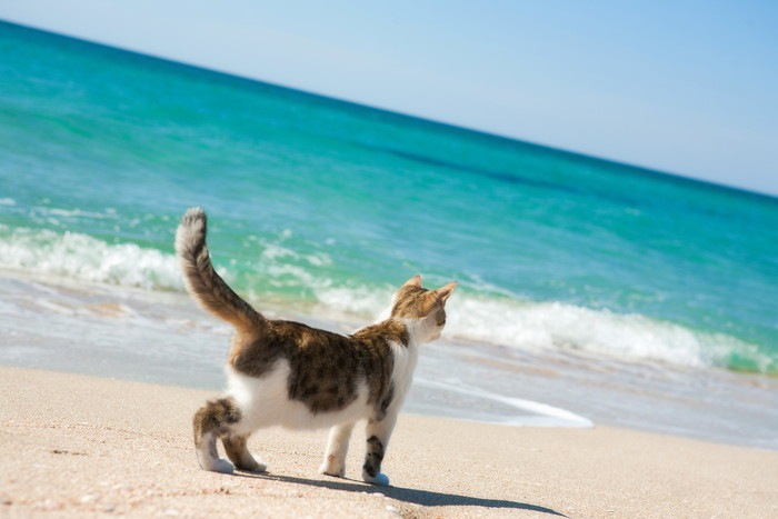 ビーチを歩く猫