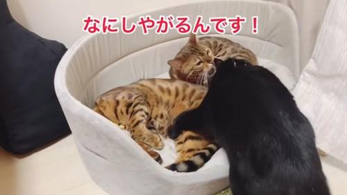 怒るベンガル猫