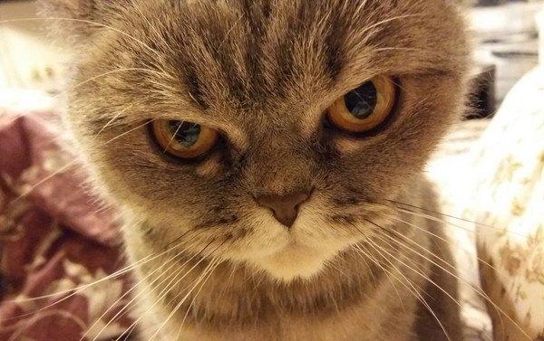 睨んでいるような怒っているような表情の猫