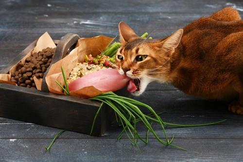 猫食材にかじりつく