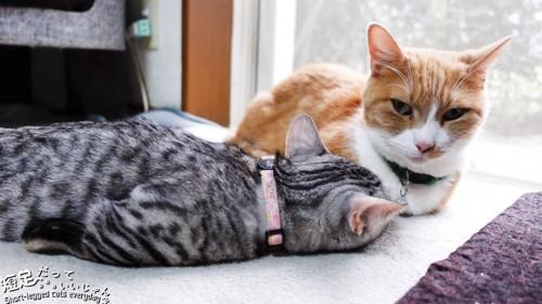 寝るグレーの猫ととなりに座る茶白の猫