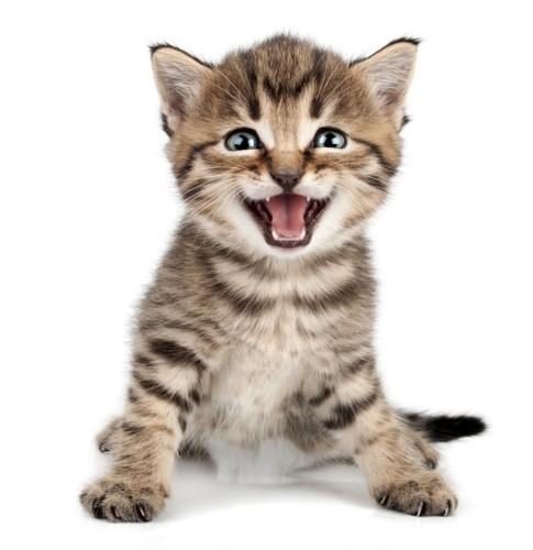 口を開けている小さい猫