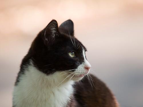 ハチワレ猫の横顔