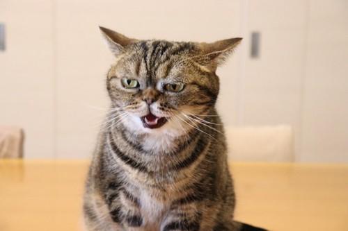 イカ耳で鳴く猫