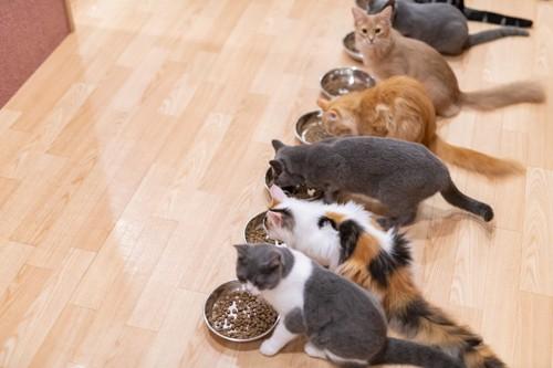 並んでごはんを食べる猫たち