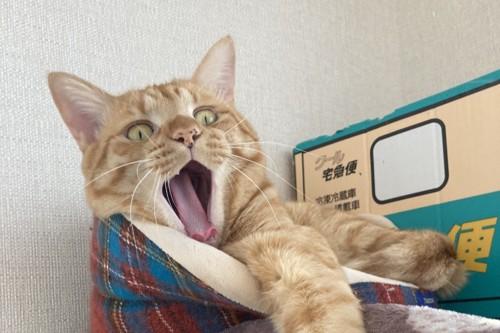 あくび途中の猫