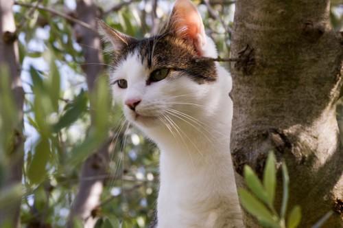 オリーブの木の上から下を見る猫