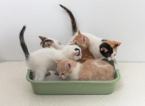 猫用トイレに入っているたくさんの子猫たち