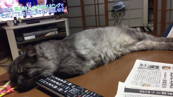 テーブルの上で足を伸ばしてつちのこ寝をする猫