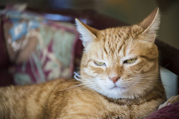 悪い顔の茶色いキジ猫