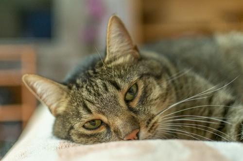 うつろな顔の猫