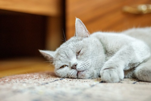カーペットの上でぐったりする猫